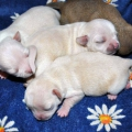 Misty Meadow's Somebody to Love puppies