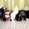 puppies from MISTY MEADOW'S SOMEBODY LOVE, photo by IZ MINI LEGIONA KENNEL
